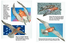 Red Knot pages 6-7